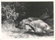(Jakob Tamm) orjakivi Helme surnuaia taga Keisripalus - KM EKLA